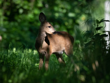 Fawn with its mother in the morning.