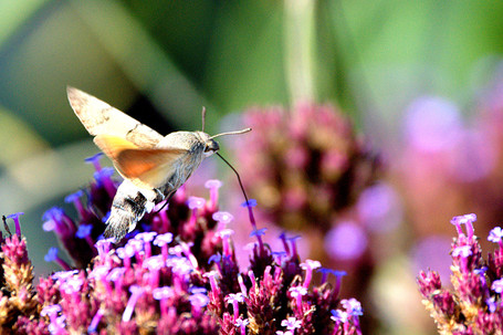 Humming-bird hawk moth
