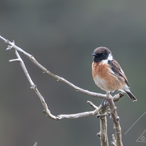 Stone chat in Corker