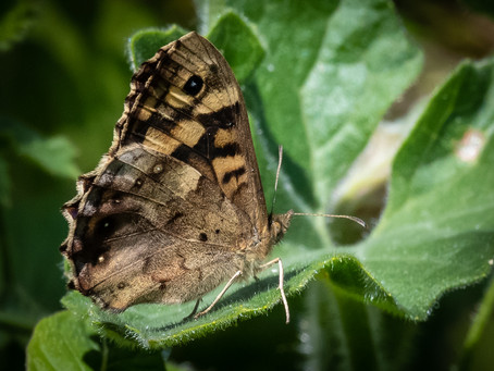 Speckled wood 25.04.2021