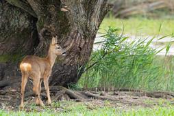 Little roe deer under a tree