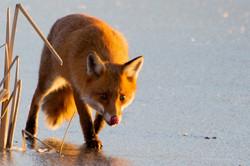 Fox on ice. January 2019