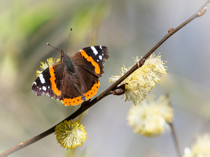 Red admiral 28.03.21