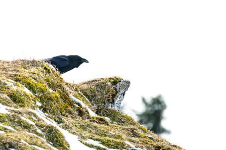 Raven on the Suchet