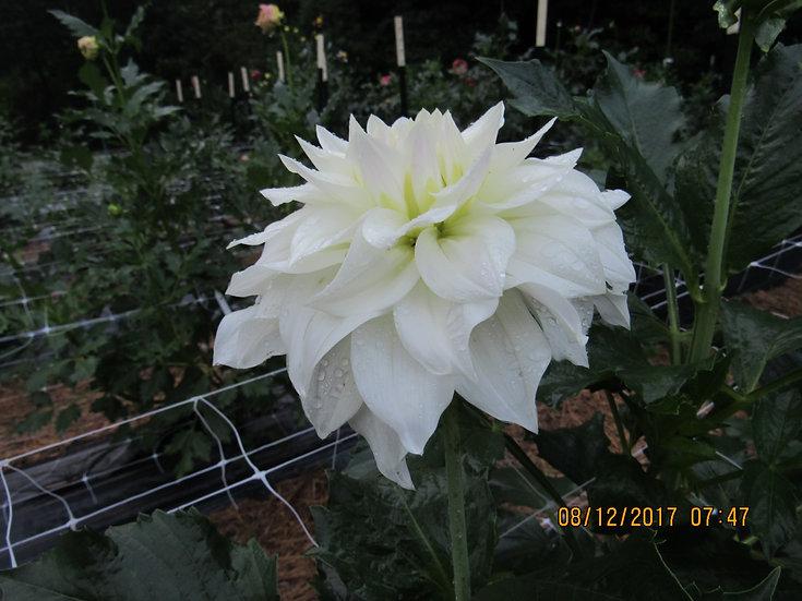 Beaucon White