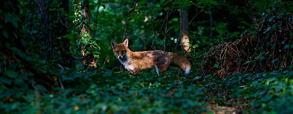 fox, wild fox, forest