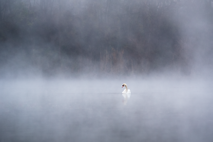 swan, nature, mist, fog, schwan, lobau, animals, wild swan, wild animal, morning, mood