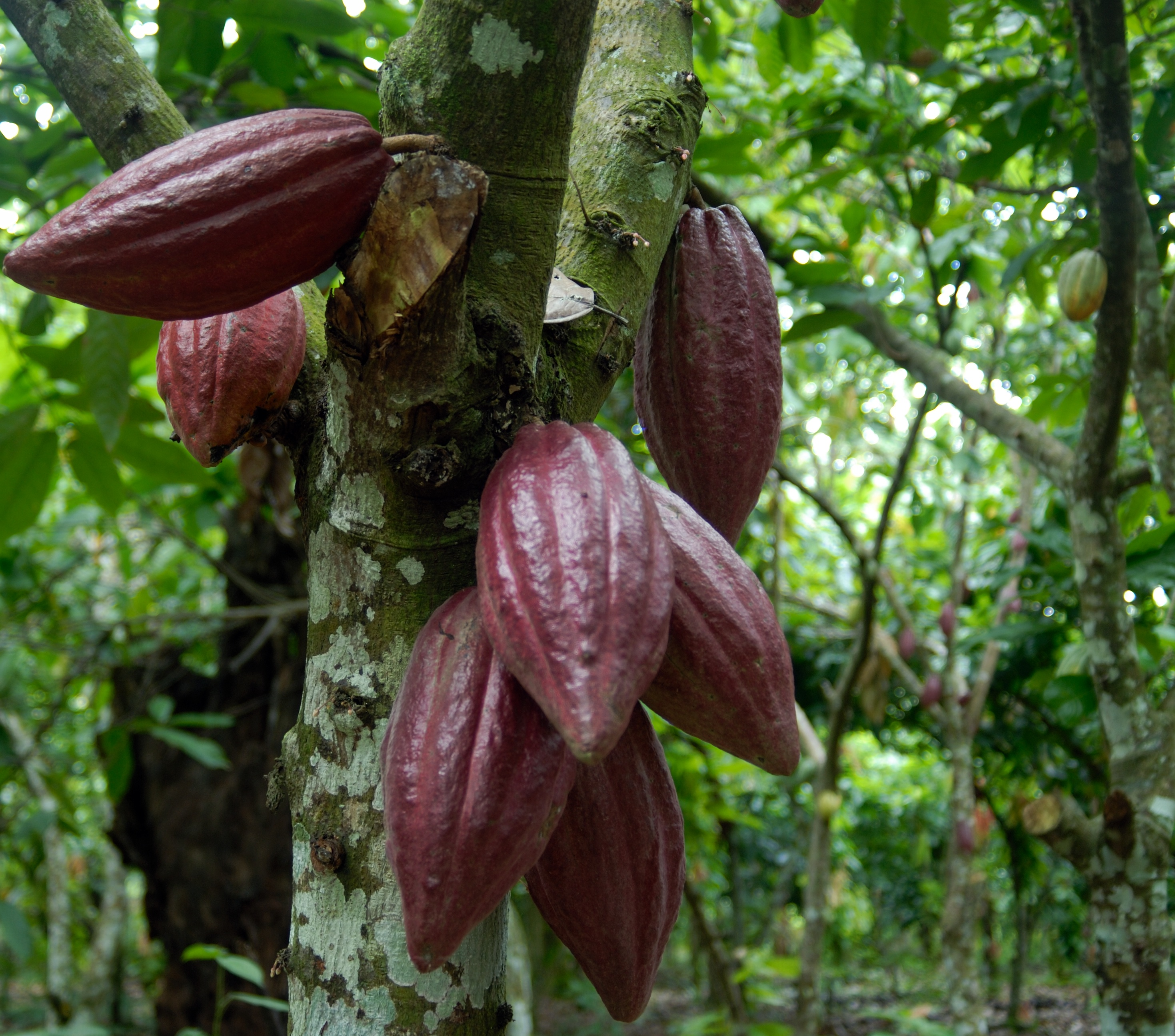 SHOP: CACAO