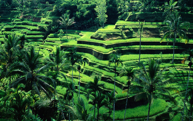 SEE & DO: JATILUWIH RICE FIELDS