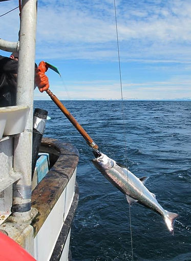 Troll caught salmon
