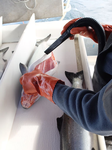 Detail cleaning the best salmon in the world