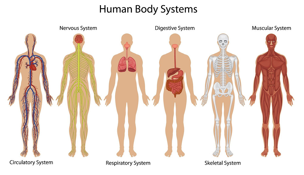 6 Human Body Systems