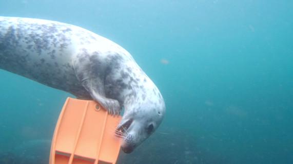 Seal biting fin