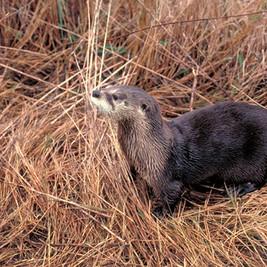 North American River Otter _ Courtesy TP