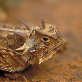 Texas horned lizard portrait - courtesy