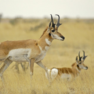 Pronghorn antelope pair near Marfa -- co