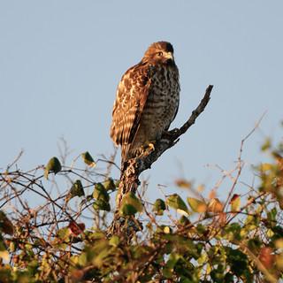 Red Shouldered Hawk - Courtesy TPWD.jpg