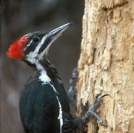 Pileated Woodpecker _ Courtesy TPWD.jpg