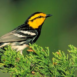 Golden-Cheeked Warbler_USFWS.jpg