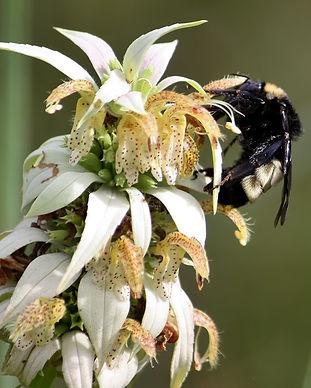 Bumblebee on Spotted Bee Balm.JPG