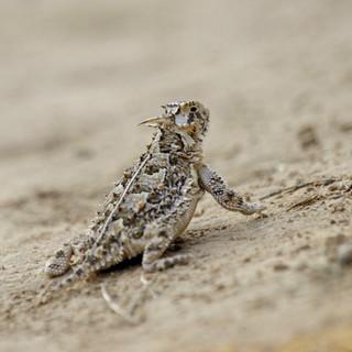 Texas horned lizard - courtesy TPWD.jpg