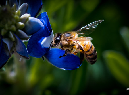 What's the Buzz: Decline of Bees, Pollinators is Bad News for Ecology and Agriculture