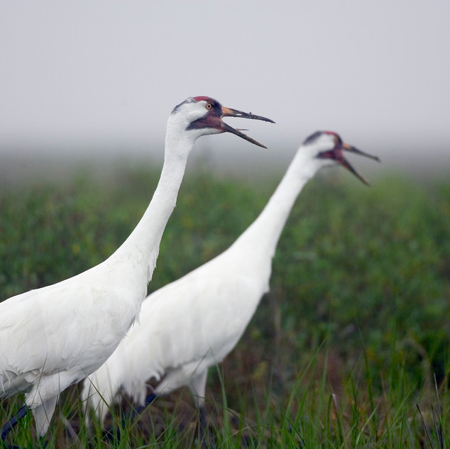 Whooping cranes - Courtesy TPWD.jpg