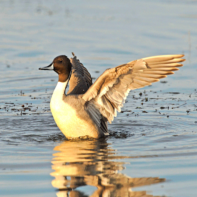 Baskett Slough NWR Pintail By George Gen