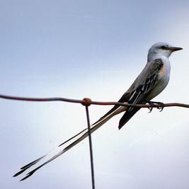 Scissortail Flycatcher - Courtesy TPWD.j