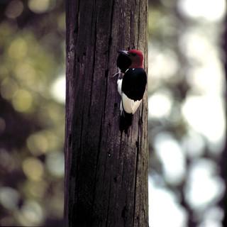 Red-headed Woodpecker - Courtesy TPWD.jp