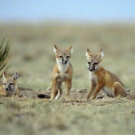 Swift Fox - Courtesy TPWD.jpg