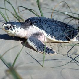 Kemp's ridley sea turtle - Courtesy TPWD