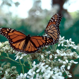 Monarch Butterflies _ Courtesy TPWD.jpg
