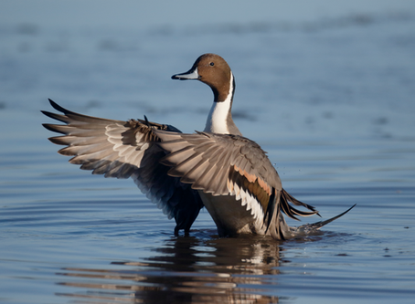 Wanted: More Winter Texans – Northern Pintail Duck and Its Coastal Marshes Need Our Help