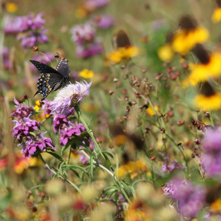 Black Swallowtail on Native Wildflowers