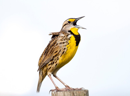Recovering America's Wildlife Act Could Help Our Nation's Birds