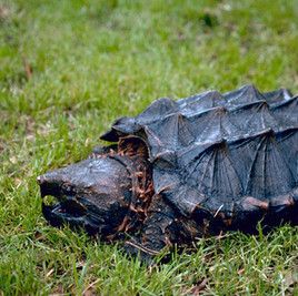 Alligator Snapping Turtle _ Courtesy TPW
