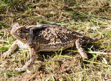 Saving the Texas State Reptile: A Poster Child for the Recovering America's Wildlife Act