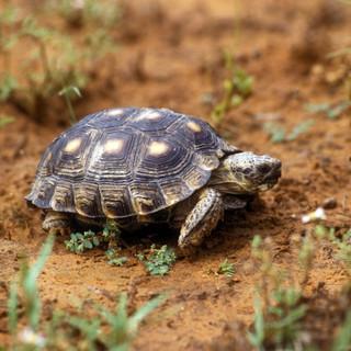 Texas Tortoise- Courtesy TPWD.jpg