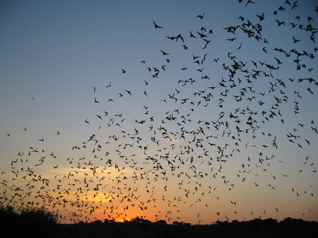 Recovering America's Wildlife Act, H.R.3742, Would Boost Texas Bat Conservation, Eco-tourism