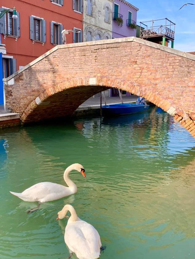 swans in Venice canals