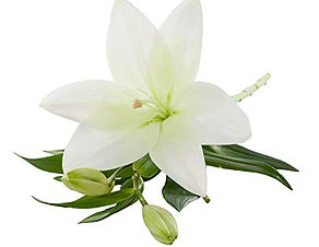 WHITE LILY1.jpg