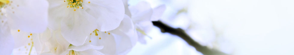 6942506-white-cherry-blossom_edited.jpg