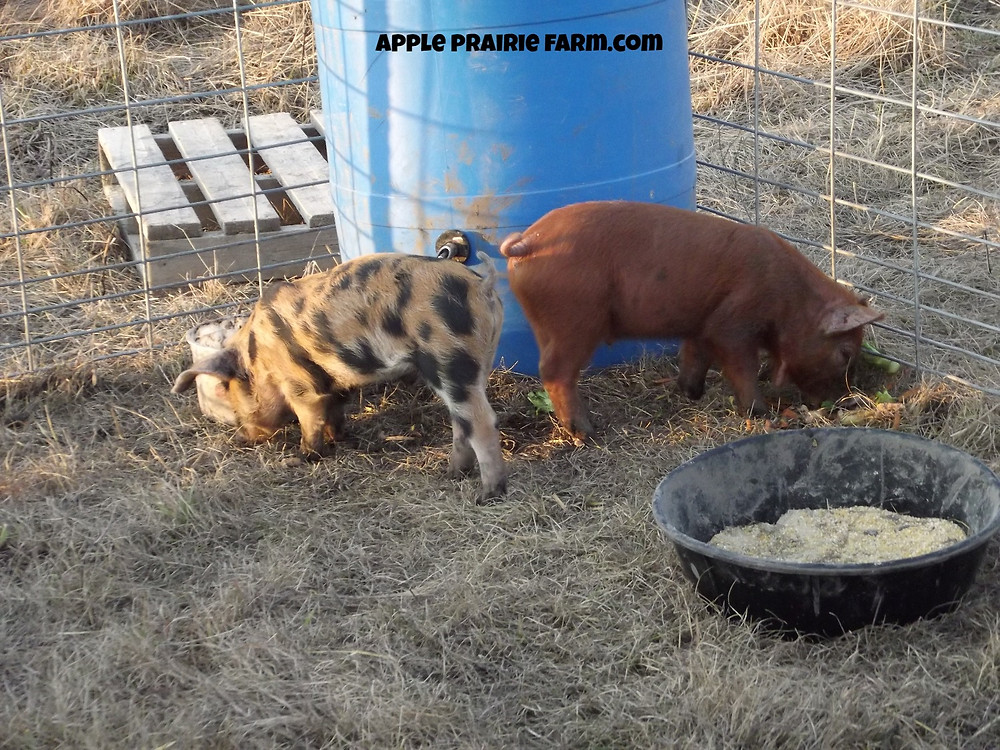 Apple Prairie Farm, Gardening, Pigs