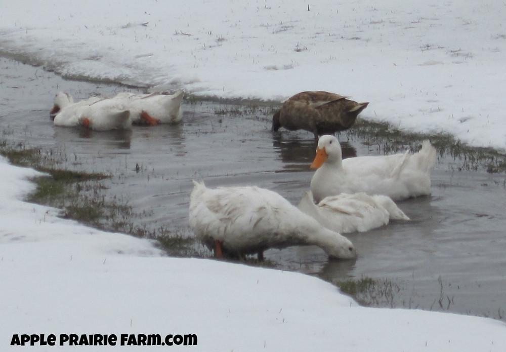 Peking Ducks with Khaki Campbell, Apple Prairie Farm