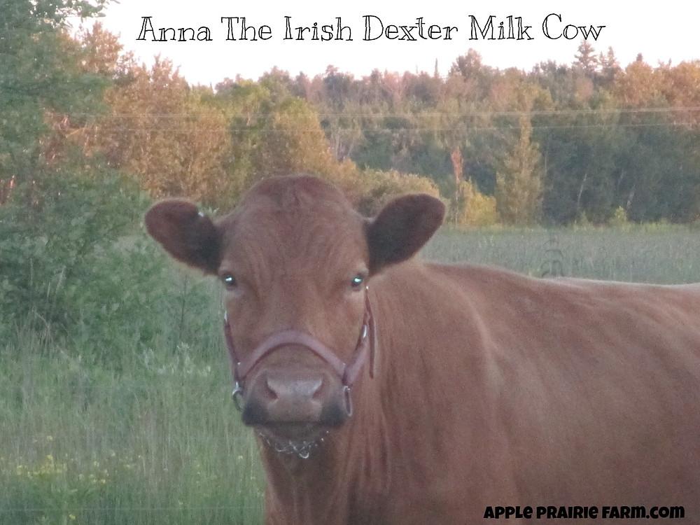 Anna the Irish Dexter Milk cow