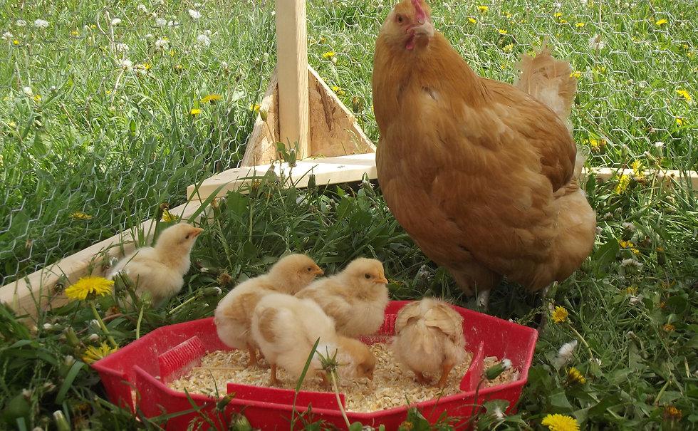 Buff Orpington, mama hen, baby chicks
