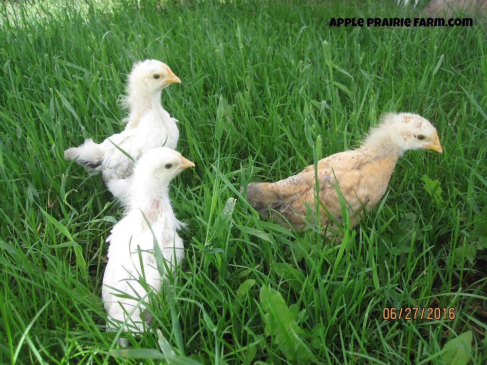 Apple Prairie Farm, baby chicks, 3 weeks old