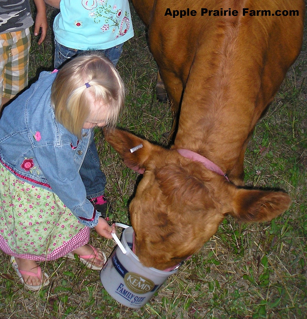 Gentle Irish Dexter milk cow with kids feeding oats