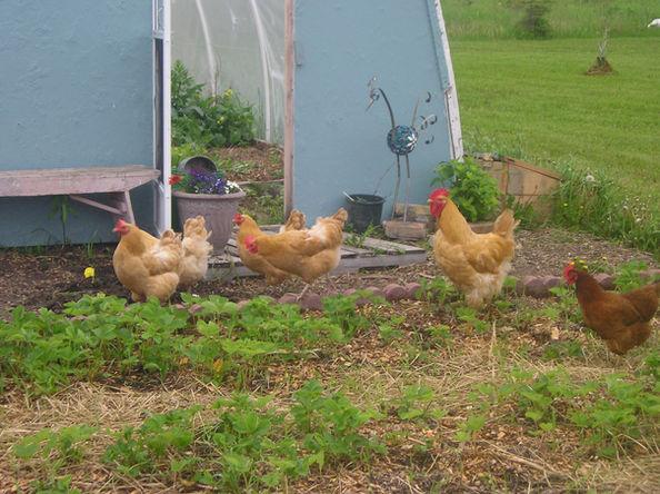 Apple Prairie Farm, chickens in the garden